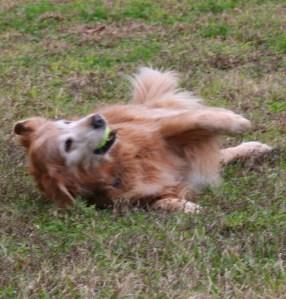 Golden retriever rolls happily in the grass