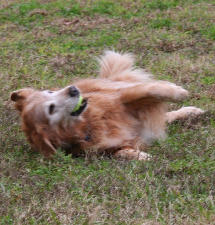 Golden retriever rolls happily in the grass
