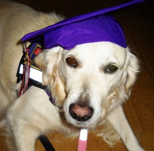 Jana, a golden retriever, wears a graduation mortorboard