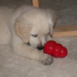A very young Jana studies her Kong toy.