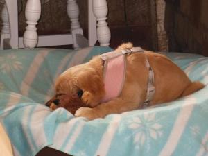Baby Cali, a nine-week-old golden retriever