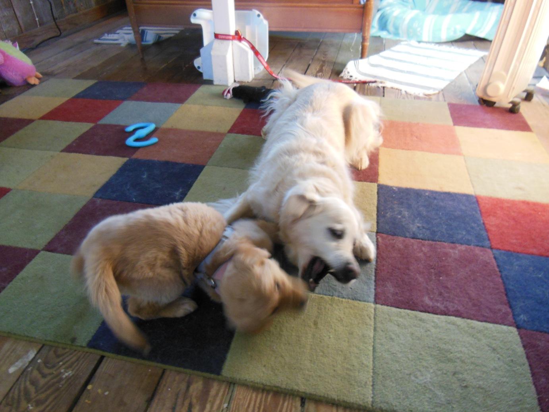 Older Dog Growls At New Puppy