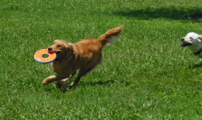 Cali races across a lawn with a frisbee