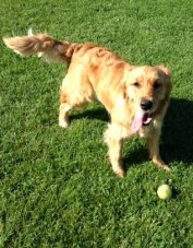 Golden retriever Cali in a grassy park with her tennis ball
