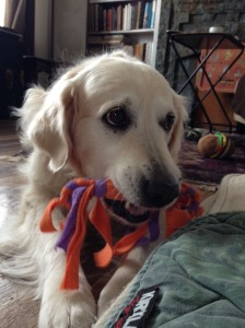 Golden retriever Jana holds a tug toy