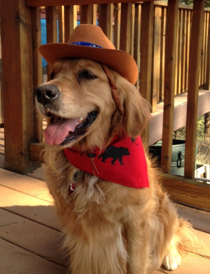 Cali, a golden retriever, wears a cowboy hat, red bandana, and a huge smile