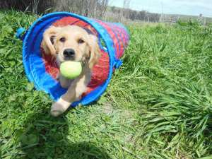 Cali, as a very young puppy, runs through a tunnel holding a tennis ball.