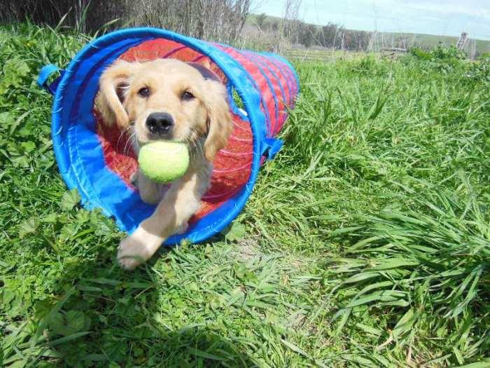 Young Cali, a golden retriever, runs through a tunnel holding a tennis ball