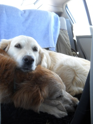 Oriel and Jana, two golden retrievers, relax in the back seat of a car during a long trip.