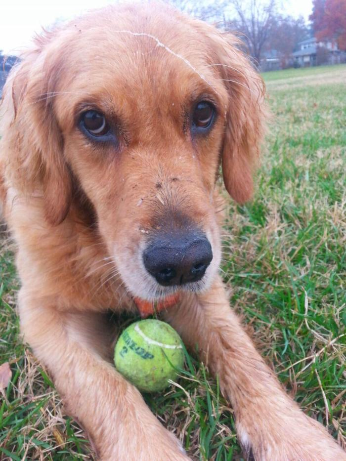 Golden retriever Cali with her tennis ball