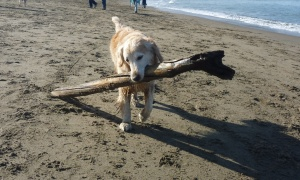 Christine carries a large tree branch on the beach