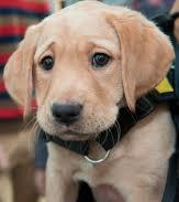 Yellow labrador puppy with worried expression on his face.
