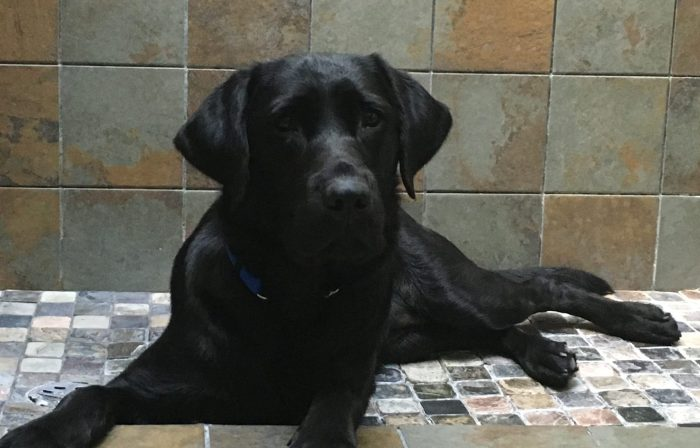 Koala, a black Labrador, lies down in a stone-tiled shower