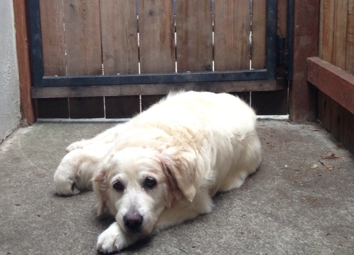 Jana, a white golden retriever, lying in front of a gate