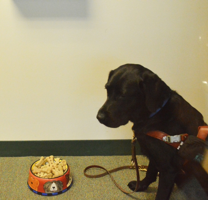 Koala, a black Lab, eyes a bowl of dog biscuits.