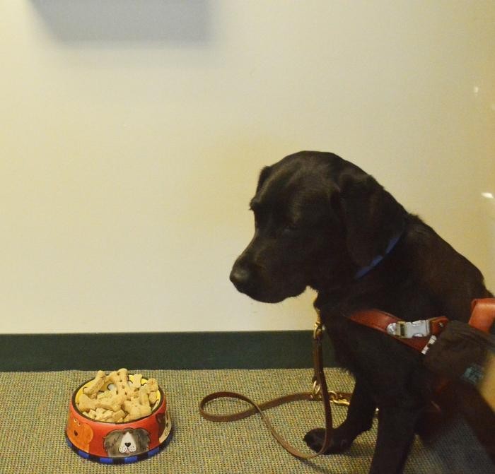 Koala, a black Lab, eyes a bowl of dog biscuits.