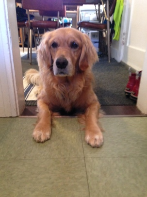 Cali, a golden retriever, lies with her paws inside the kitchen and her body in the doorway