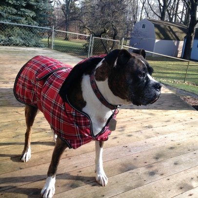 Beau, a boxer, sports a red plaid winter coat