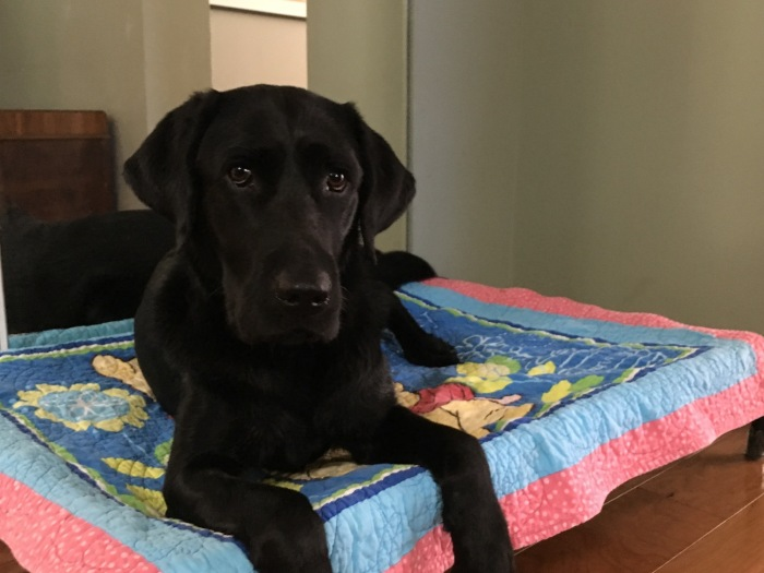 Black Lab Koala relaxes on a dog bed