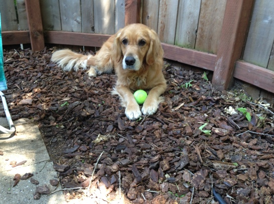Cali carefully guards her tennis ball.