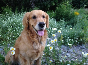 Cali, a golden retriever, sits surrounded by flowers