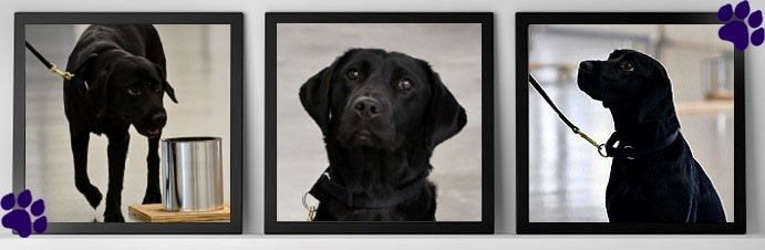 three photos of Lulu, a young black Labrador who chose not to become an explosives detection dog.