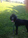 Molly, a black standard poodle