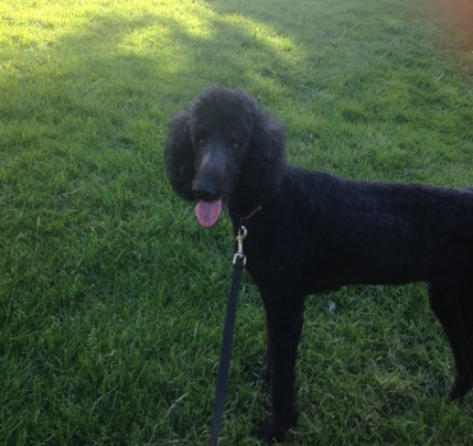 Molly, a black standard poodle, is celebrating her 14th birthday!