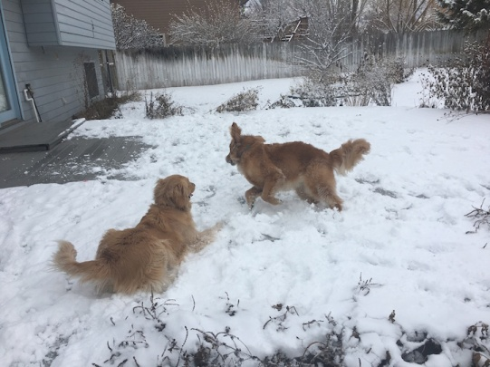 Cali and Scarlett, both golden retrievers, play in the snow