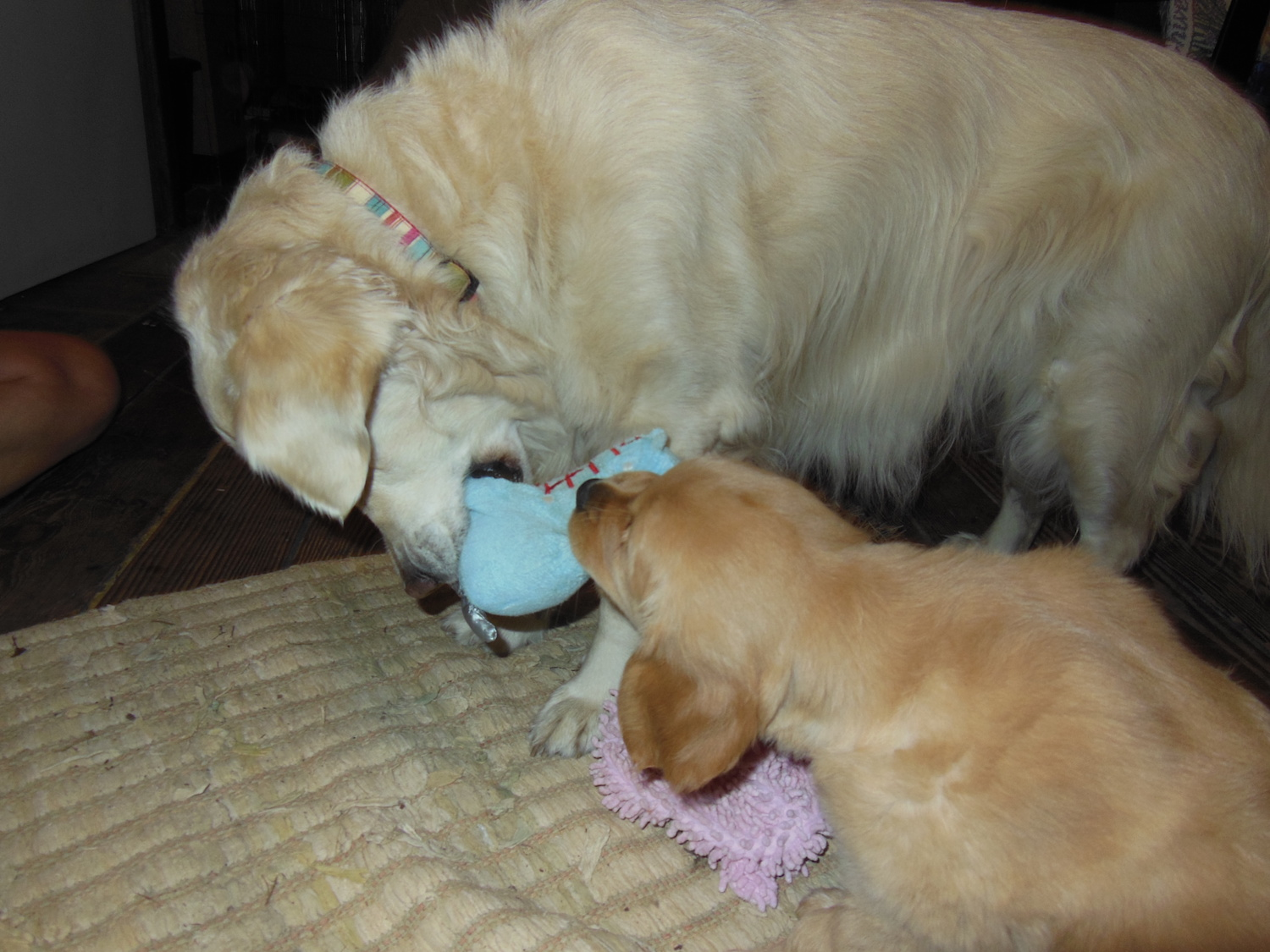 Bringing A Puppy Into Home With Older Dog