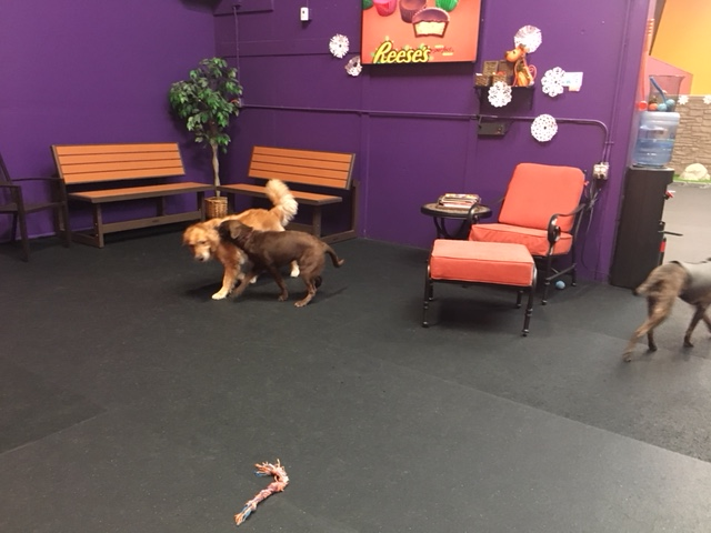 Cali plays with a new friend at Wagg'n indoor dog park