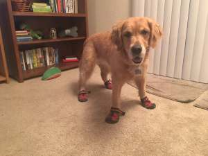 Golden retriever Cali tries on some hiking boots