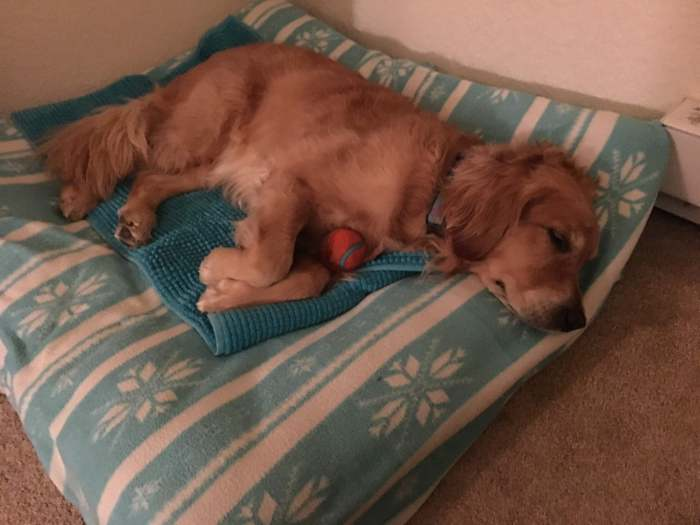 Cali sleeps on her dog bed, cradling a tennis ball with her paws.