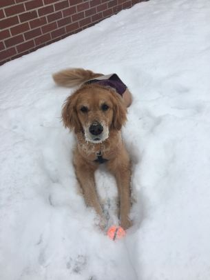 Cali lies in the snow with her orange tennis ball between her paws