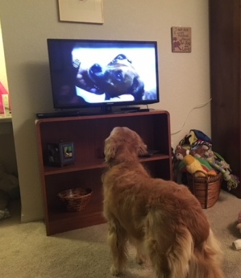 Cali is vert attentive to a dog on the TV screen.