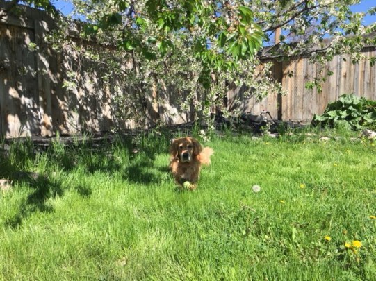 Cali enjoys the shade of a cherry tree