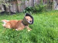 Golden retriever Cali wears her soft cone as she lies on the grass