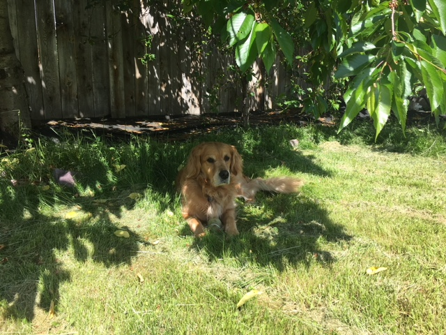 Cali with her tennis ball, in the shade of a cherry tree