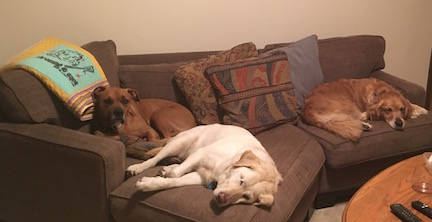 A mixed breed dog relaxes with a Labrador and a golden retriever on a sofa.