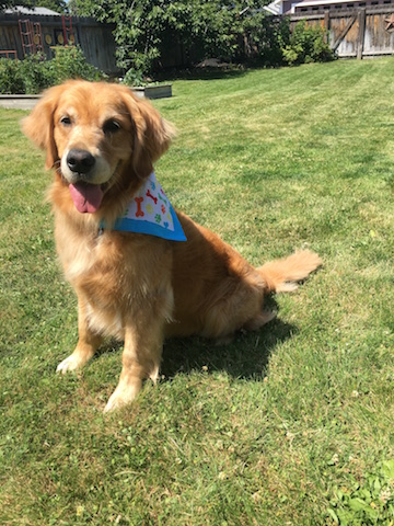 Cali, a golden retriever, smiles happily and wears a colorful bandanna after her grooming.