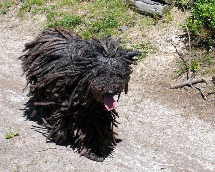 A Puli dog walks on a dirt road.