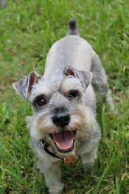 A miniature Schnauzer with uncropped ears.