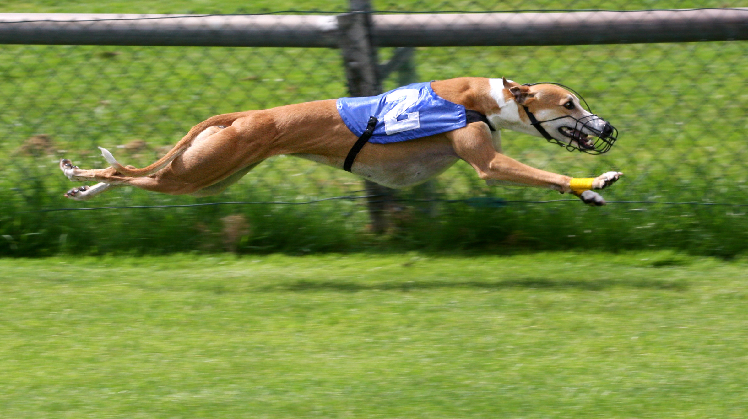 A greyhound racing dog runs, wearing a cape and a muzzle.