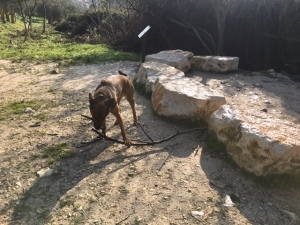 Sophie, a large mixed-breed, chews an enormous stick
