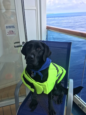 Koala, a black labrador, wears a life jacket. She sits on a chair with the ocean behind her