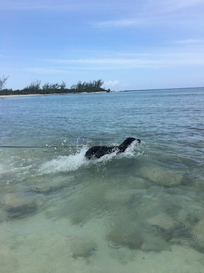 koala, a black lab, swims in clear, shallow water