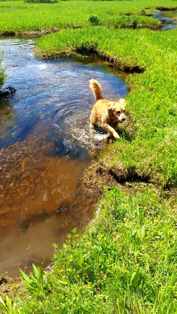 Cali, a golden retriever, jumps out of a freezing cold stream