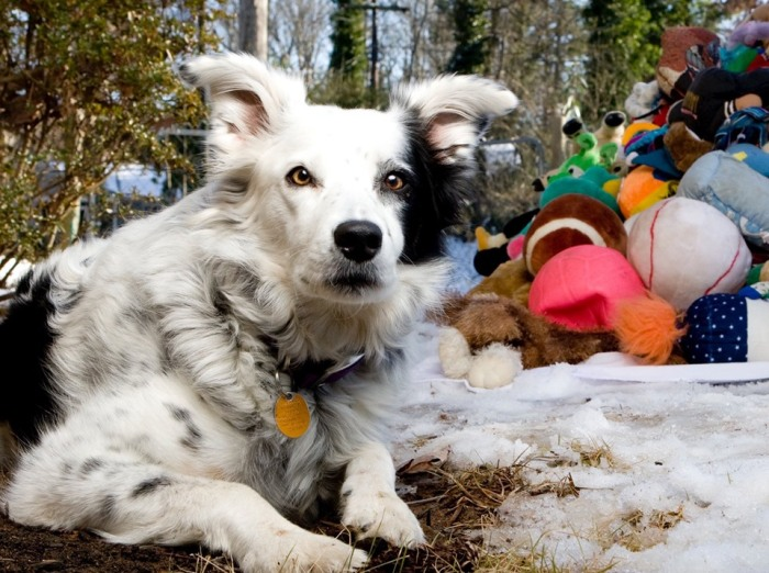 Chaser, the border collie who learned 1,000 words