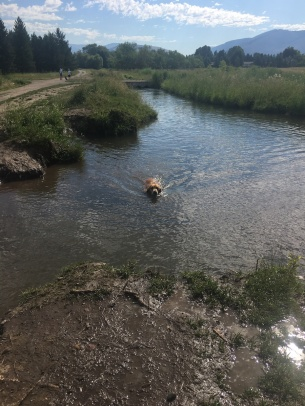 Cali swims to the bank of a river with her ball
