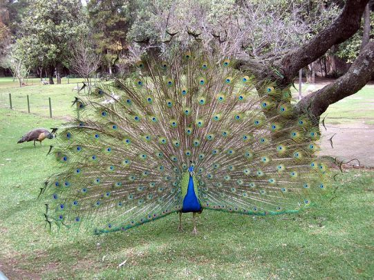 Peacock with tail feathers on display